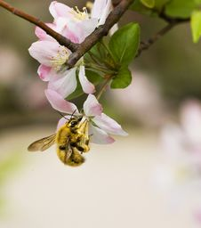 Free Crabapple Flowers & Bee Stock Images - 4746384