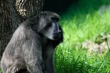 Free Baboon Stock Images - 4746664