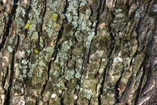 Free Tree Bark Close-up Royalty Free Stock Image - 4747046