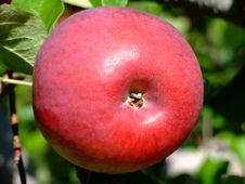 Free Cortland Apple Up Close Royalty Free Stock Photo - 4747565