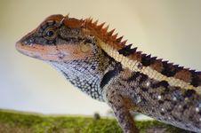 Free Lizard Royalty Free Stock Photo - 4747685