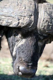 Free Buffalo (Kenya) Royalty Free Stock Photo - 4747805