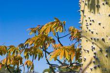 Free Thorny Tree Stock Images - 4748534