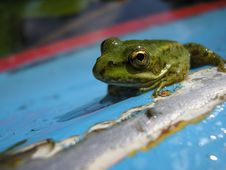 Free Green Frog Stock Photo - 4749310