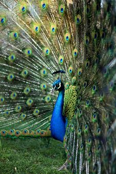Free Peacock Stock Images - 47405624