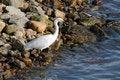 Free White Egret Stock Image - 47465301