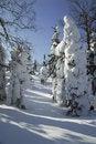 Free Coniferous Wood In Snow. Stock Photo - 4750400