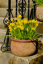 Free Pot With Daffodils On The Stairs Stock Photos - 4752613