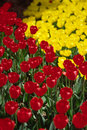 Free Tulip Field Royalty Free Stock Photography - 4755227