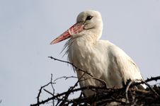 Free Stork In His Nest Royalty Free Stock Image - 4750336