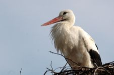 Free Stork In His Nest Stock Images - 4750424
