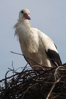 Free Stork In His Nest Stock Photography - 4750482