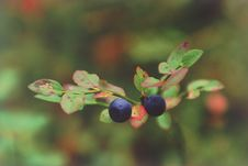 Free Two Berries Of Bilberry Close Up. Stock Photo - 4750660