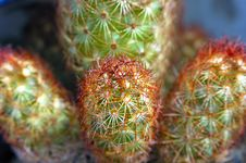 Free Finger Cactus Stock Photo - 4751050