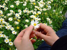 Free Daisy Phall Royalty Free Stock Image - 4751506