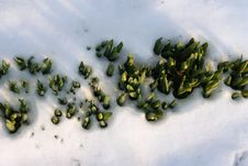 Free Flowers In  The Snow Royalty Free Stock Photos - 4751928