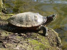 Free Turtle Stock Photography - 4752232