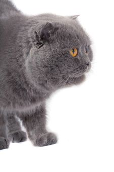 Free Scottish Fold Cat Royalty Free Stock Image - 4752416
