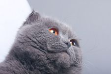 Free Scottish Fold Cat Royalty Free Stock Photography - 4752597