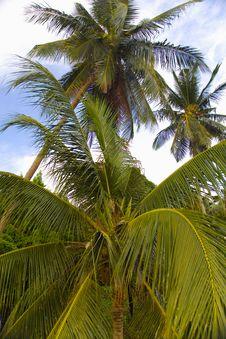 Free Palm Trees Royalty Free Stock Photo - 4753225