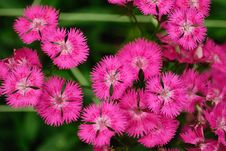 Free Gipsy Flower Stock Photography - 4753372