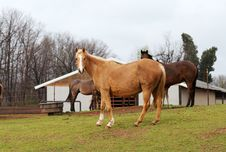 Free Grazing Horses In A Medow Royalty Free Stock Images - 4753909