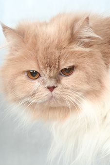 Free Sight Of A Beige Nice Fluffy Cat Royalty Free Stock Photography - 4754107