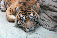 Free Tiger Stock Photo - 4754520