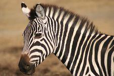 Free Zebra Stock Images - 4754714