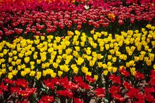 Free Field Of Tulips Royalty Free Stock Images - 4754999