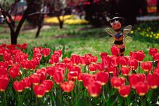 Free Field Of Tulips Royalty Free Stock Images - 4755049