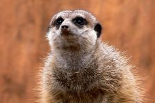Free Suricate Stock Photography - 4755052