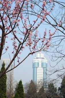 Free Peach Blossom Royalty Free Stock Photo - 4755225