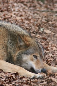 Free Greywolf Stock Photography - 4755232