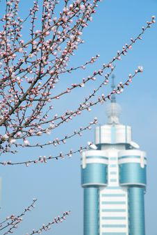 Free Peach Blossom Royalty Free Stock Images - 4755329