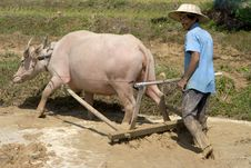 Free Plough With Water Buffalo Royalty Free Stock Photo - 4755815