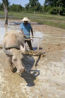 Free Plough With Water Buffalo Royalty Free Stock Images - 4755819