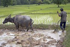 Free Plough With Water Buffalo Stock Image - 4755871