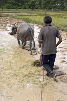 Free Plough With Water Buffalo Royalty Free Stock Images - 4755889
