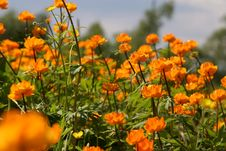 Free Orange Flowers Royalty Free Stock Photos - 4755998