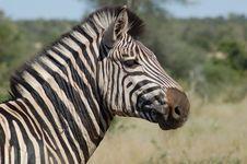 Free Burchell S Zebra (Equus Quagg Royalty Free Stock Image - 4756446