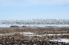 Snow Geese Fly Royalty Free Stock Photography