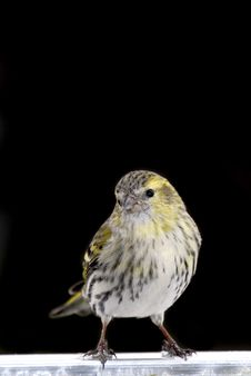 Free Female Siskin Royalty Free Stock Photography - 4758057