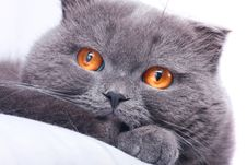 Free Scottish Fold Cat Royalty Free Stock Images - 4758069