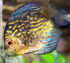 Free Aquarium Fish 15 Stock Image - 4758391