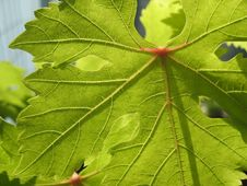 Free Grape Leaf Royalty Free Stock Images - 4759169