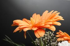 Free Aster Stock Photography - 4759452