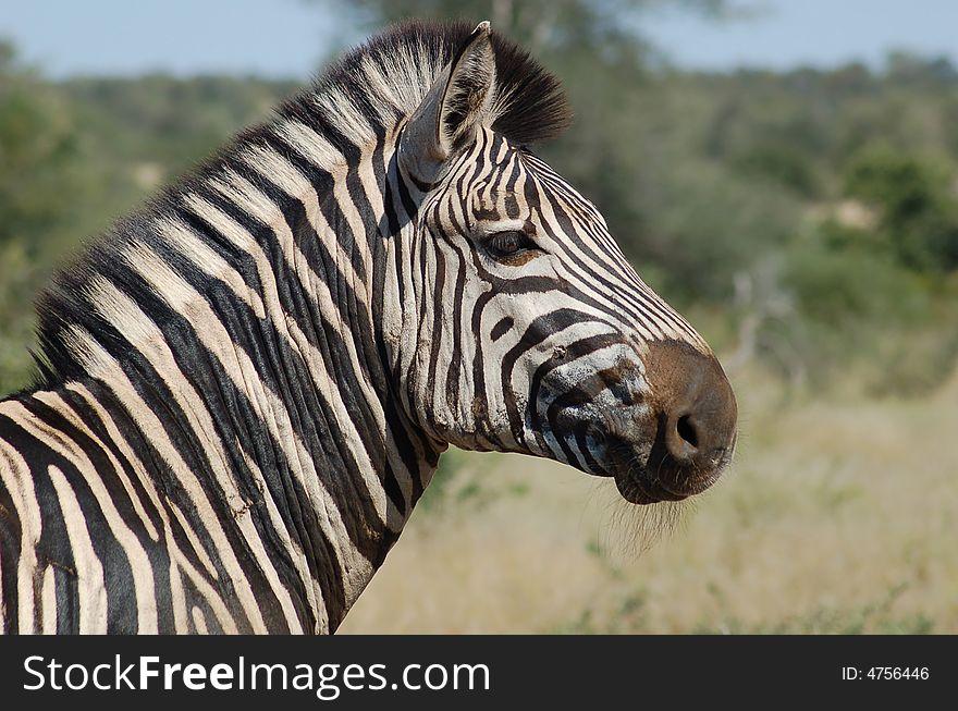 Burchell s Zebra (Equus quagg
