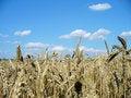 Free Wheat Field Royalty Free Stock Image - 4760446