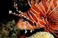 Free Lionfish Royalty Free Stock Image - 4764606